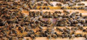 HONNEY-BEE-31